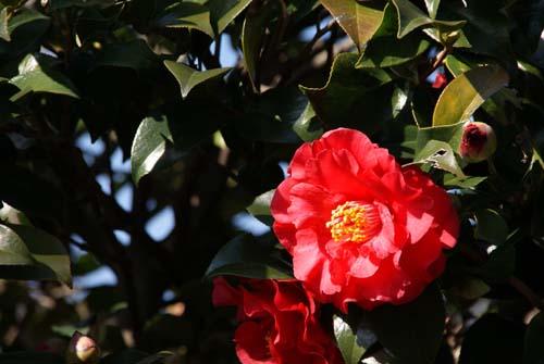 ご近所の庭先の花